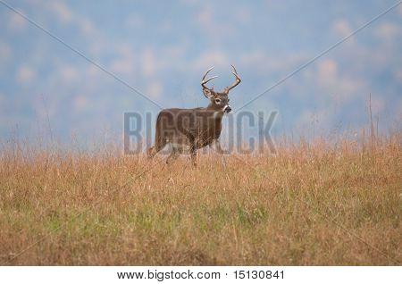 White-tailed Deer Buck Standing On A Hillside