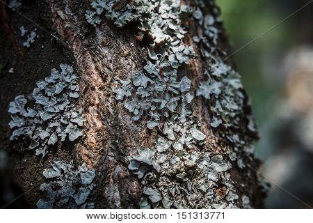 Lichen on the apple tree bark (parmelia sulcata)