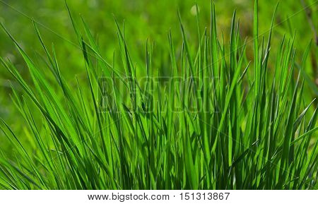 Fresh Green Grass Of Summer Meadow In Sunny Day