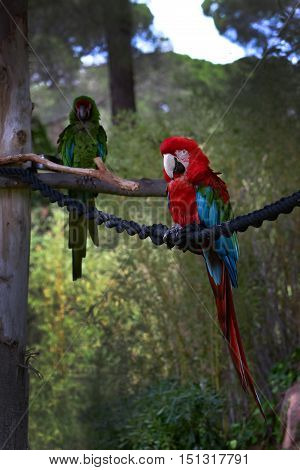 Red-and-blue macaw, Ara ararauna, Macaw parrot sitting on a rope.