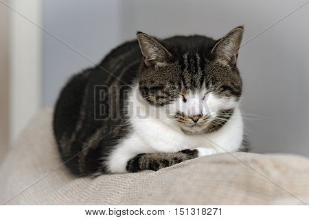 Sleeping grey, white and grey tabby cat on a sofa