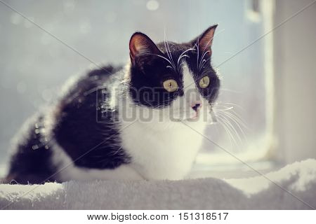 Black-and-white domestic cat sits at a window in sunshine.