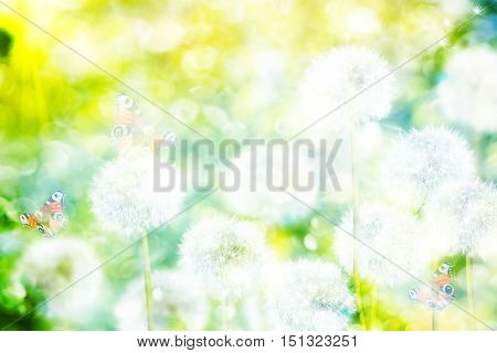 fluffy dandelion flowers on a background of the spring landscape. butterfly