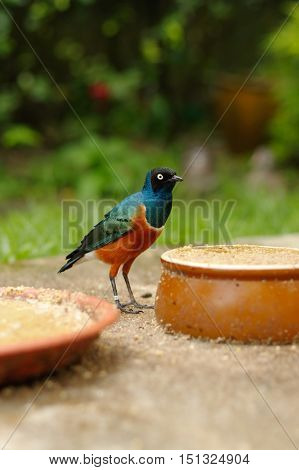 a coulorfull little bird on the ground between feed plates in Kuala Lumpur Bird Park Malaysia.