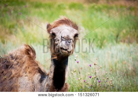 Bactrian Camel, Summer Day.