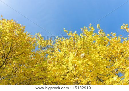 Yellowed tops of autumn forest trees with autumn golden leaves extending to the blue sky in day of fall - autumn landscape, lowest point shooting. Autumn nature background