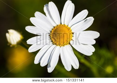 Closeup of the blooming oxeye daisy (Leucanthemum vulgare)