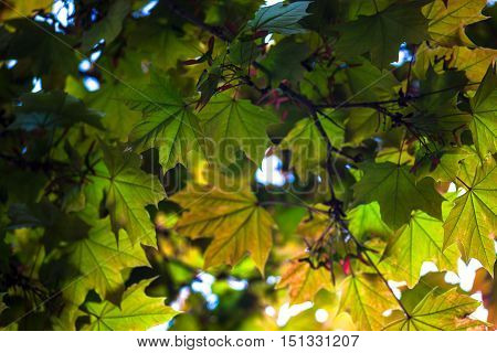 Green maple branches with young pink fruit called samaras.