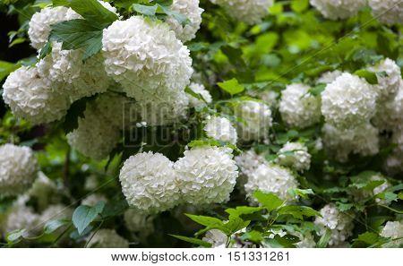 Guelder rose (viburnum opulus) white blossom branches