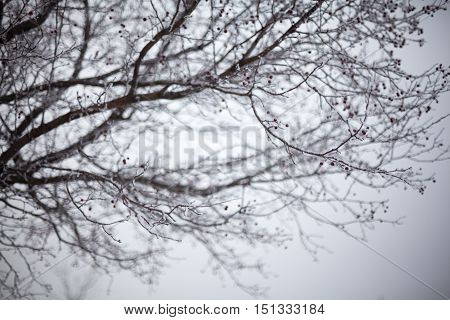 Hawthorn branches with red berries covered with hoarfrost.