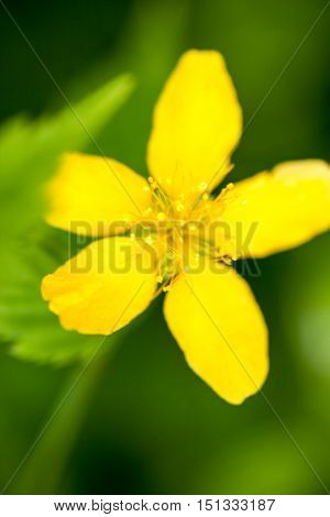 Yellow buttercup flower (Ranunculus) in the meadow. Close up.