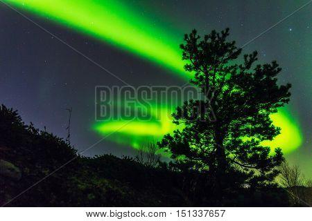 Pine silhouette on the background of the Aurora Borealis night sky
