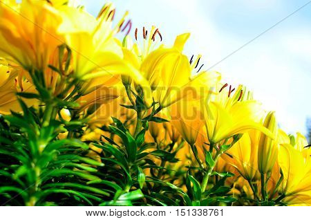 bright yellow lillies tiltled against a blue sky