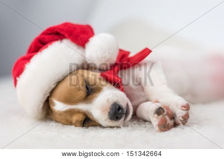 jack russel puppy with red ribbon