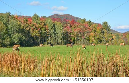 Brown cattles in field in front forest during fall season Bromont Quebec Canada