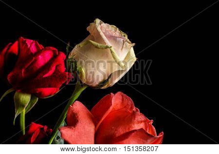 Red and white roses on a black background.