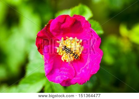 Beautiful pink peony flower with pollinating wasp.