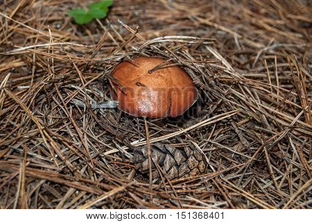 Mushrooms between dry pine needles in the forest
