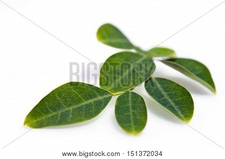 Moringa Leaf Isolated On White Background
