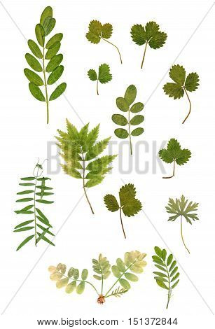 multicolor dry green leaf rowanberry isolated on white
