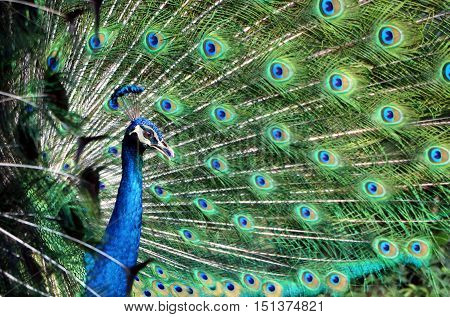 Peacock showing off feathers from side view angle