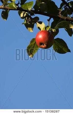 Shiny Apple On Tree