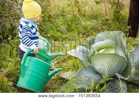 Adorable little toddler boy watering cabbage from a big green watering can and having fun. Child helps in the vegetable garden outdoors. Countryside life and good harvest.