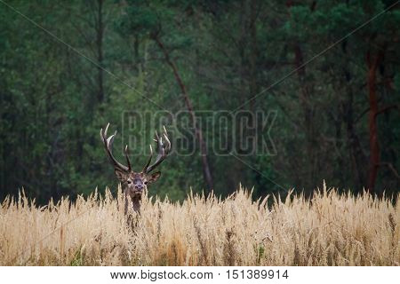 Red deer stag looking around in a forest clearing.