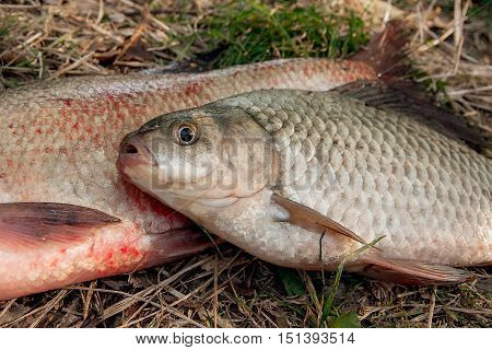 Several Common Bream Fish, Crucian Fish Or Carassius On The Natural Background. Catching Freshwater