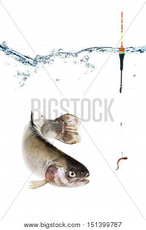 Underwater view of trout a fish with a hook worm and float bait. Fishing concept isolated on white