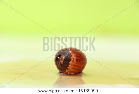 picture of a single Hazelnut on a white green background