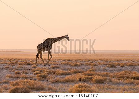 Giraffe Walking In The Bush On The Desert Pan At Sunset. Wildlife Safari In The Etosha National Park