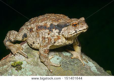 A close up of the toad (Bufo gargarizans).