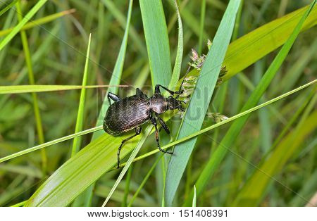 A close up of the beetle carabus (Calosoma) on grass.