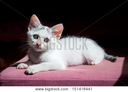 blue eyes white kitty cat on red couch