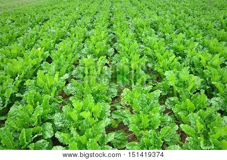 Agricultural green field with rows of mature beets in perspective.