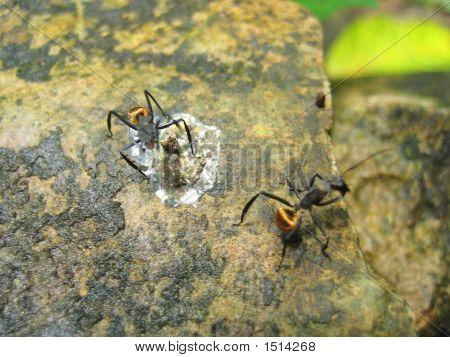 Tropical Big Yellow Ants On A Rock, Livingston, Guatemala