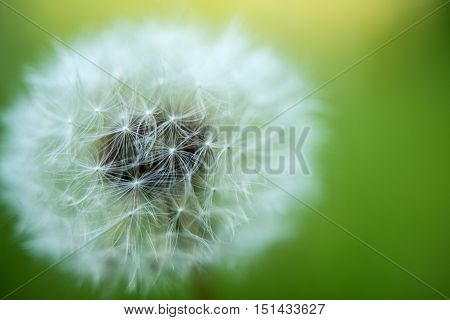 white dandelion growing in a meadow close-up