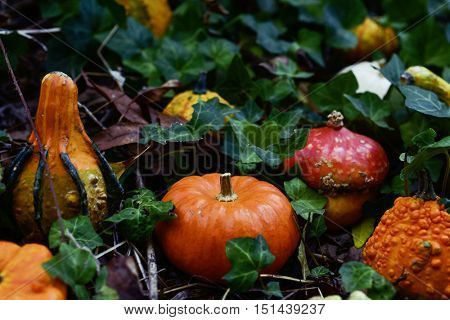closeup of some different pumpkins in the garden or in the woods surrounded by ivy leaves