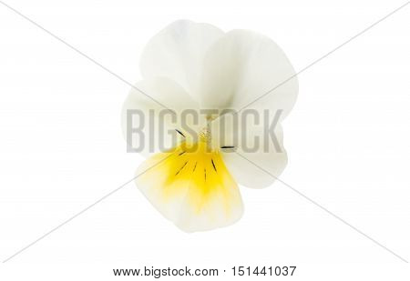summer pansy flower isolated on white background
