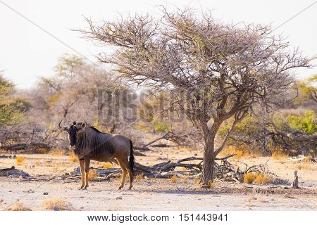 Blue Wildebeest Walking In The Bush. Wildlife Safari In The Etosha National Park, Famous Travel Dest