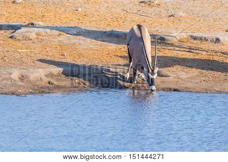 Oryx Kneeling And Drinking From Waterhole In Daylight. Wildlife Safari In Etosha National Park, The