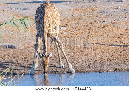 Giraffe Kneeling And Drinking From Waterhole In Daylight. Wildlife Safari In Etosha National Park, T