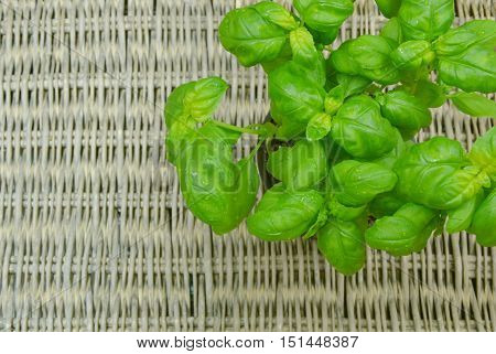 Sweet basil is one of the most recognized, nutritionally rich herbal plants.