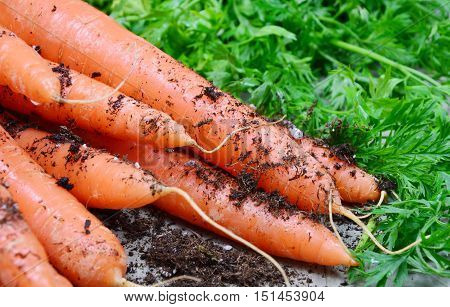 Carrots, Health Benefits and Precautions. carrots with soil