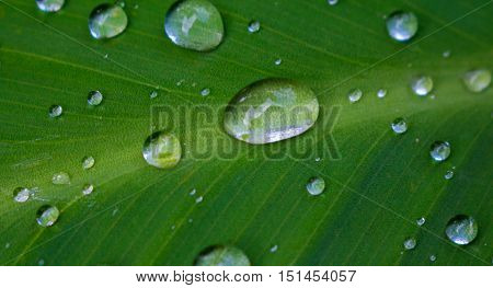 Water drop on green leaf. Tropical plant leaf macro photo. Green leaf with water drops closeup. Botany hydration. Fresh natural image for wallpaper background card or banner template. Clean ecology