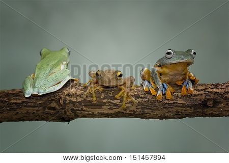 Three java tree frog on same branch