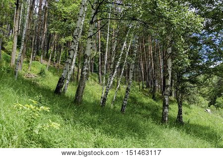 Vitosha mountain forest trees birch and conifer