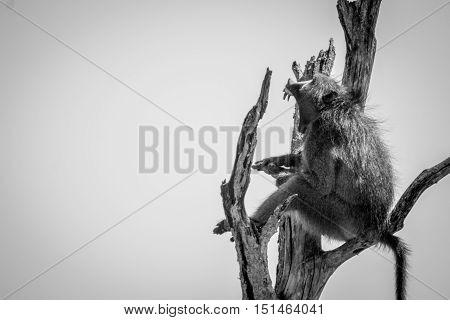 Baboon Yawning In A Dead Tree In Black And White.