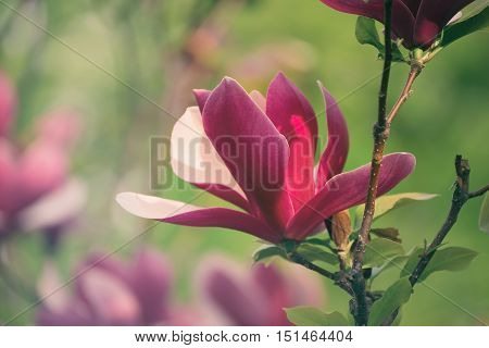 Blossoming of magnolia liliflora Nigra flowers in spring time, retro vintage hipster image
